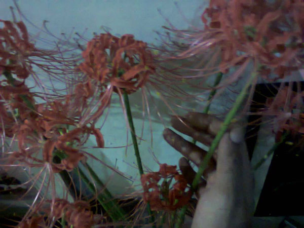 Omer Khan sholds up one of his favorite native flowers: a spider liliy of Pakistan